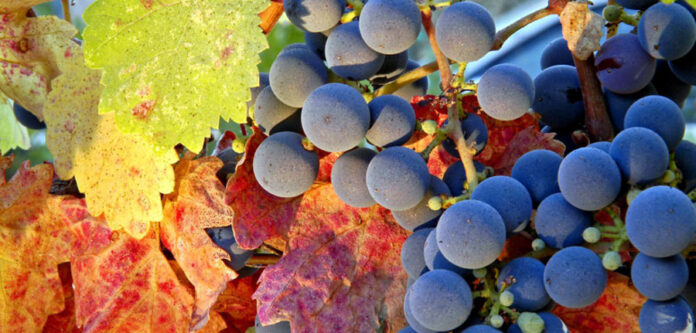 Grappoli uva