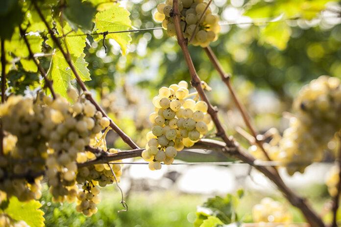 Uva Pinot Bianco