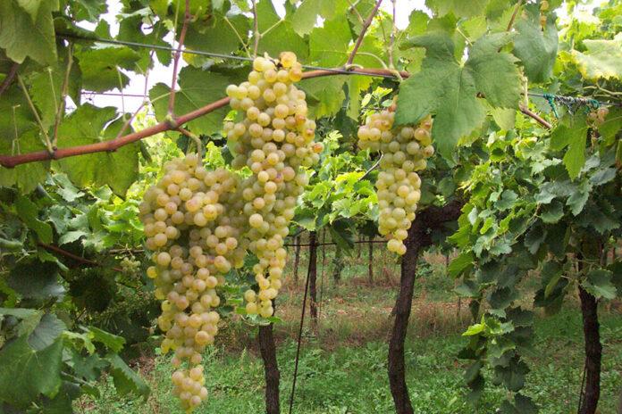 Sostenibilità viticola
