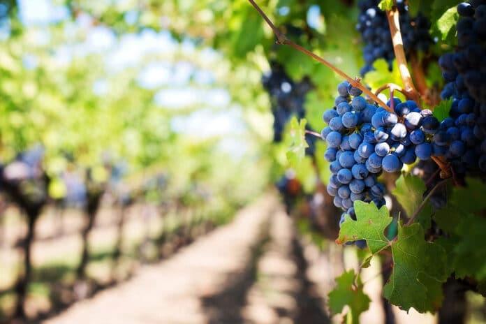 vitivinicultore