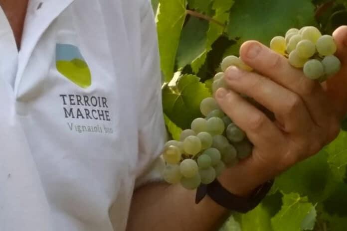 Terroir Marche vignaioli bio
