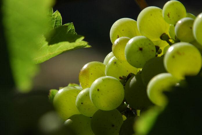 Grappolo uva a bacca bianca