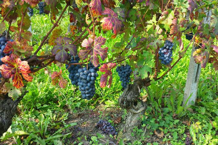vigna nizza monferrato