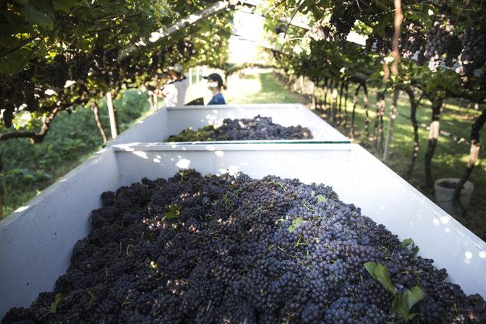 Vendemmia Schenk Italian Wineries