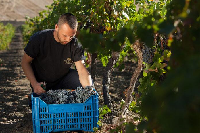 vendemmia casa vinicola fazio